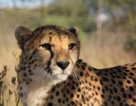 Update on Action for the Wild's Collared Carnivores in Namibia March 2014
