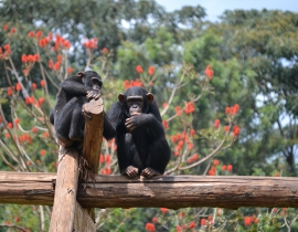 Centre de Rehábilitation des Primates de Lwiro supported in 2017 by Action for the Wild