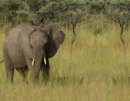 Chodoba, the orphaned elephant, is preparing for release!