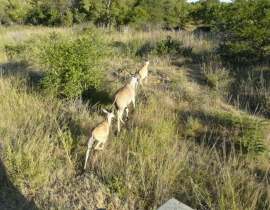 UmPhafa welcomes the world's largest antelope to it's land!