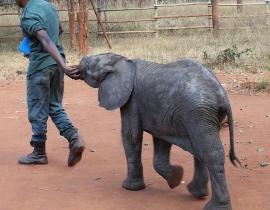 Elephant orphans go exploring!