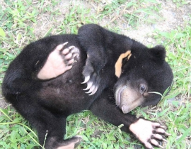 Four More Sun Bears Join the Cambodian Bear Sanctuary