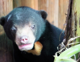 Sanctuary sees rise in rescued sun bears
