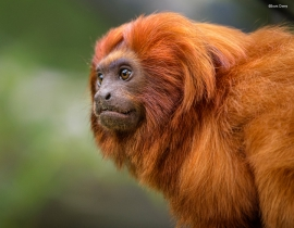 Golden Lion Tamarins – Rio and beyond