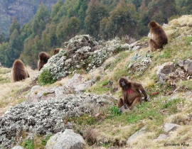 Action for the Wild supports new Gelada Baboon project!