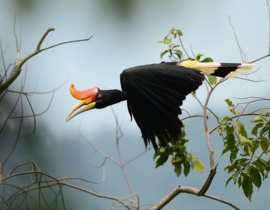 Update on hornbill families in Thailand