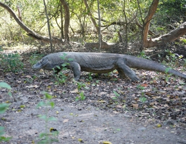 Update from Komodo Dragon Conservation Project