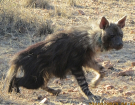 Brown hyena collared thanks to Action for the Wild funds