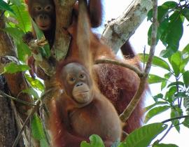 Orangutan Foundation 2017 summary