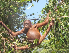 Rise in orangutan rescues after habitat destroyed