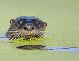 Fishing communities are the key to otter survival