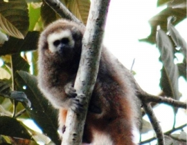 Newsletter from Proycecto Mono Tocón on the San Martin titi monkey