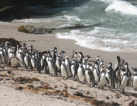 Penguin Census Report from Peru