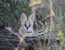 Young serval spotted on the UmPhafa Reserve!