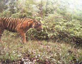Wildlife Vets International support tiger health programme!