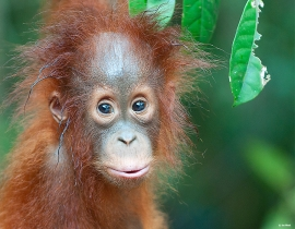 Orangutan Foundation celebrates 25 years