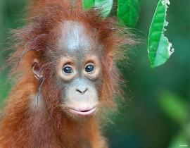 Orangutan Foundation celebrates 25 years