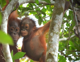 Orangutans given second chance in conflict over habitat