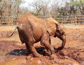 Elephant calf rescued!