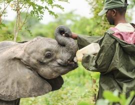 Rehabilitating Zambia's elephant orphans
