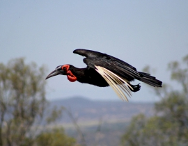 Hornbills spotted at Colchester Zoo's UmPhafa Reserve!
