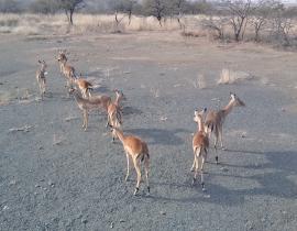 Impala release at Colchester Zoo's UmPhafa Reserve!