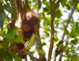 Another baby born to previous orangutan orphan!