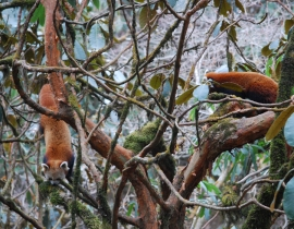 Forest Guardians watching over Red Pandas
