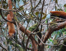 Update from Action for the Wild's Newest Project; the Red Panda Network