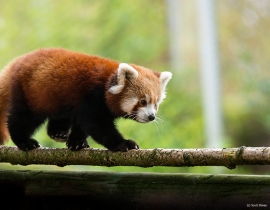 The Red Panda EEP Forest Guardians Programme