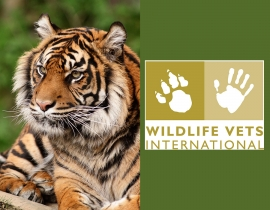 Wildlife Vets International investigate disease risks of Sumatran tigers