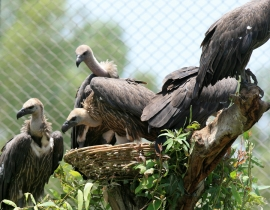 Gyps Vulture update