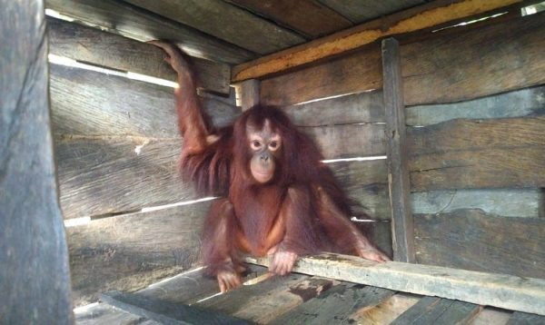 Orangutan Foundation Update