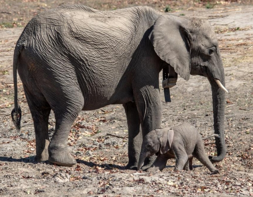Colchester Zoo's elephants take part in HEAT project!