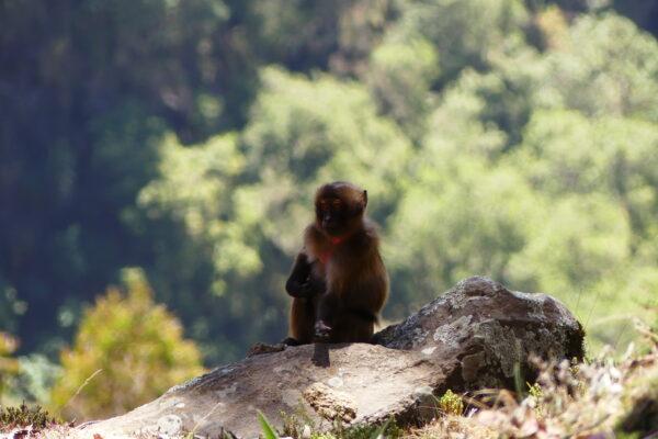 Gelada Baboon Research Study